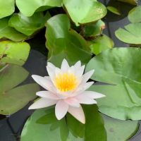 lilypons-water-gardens-124225