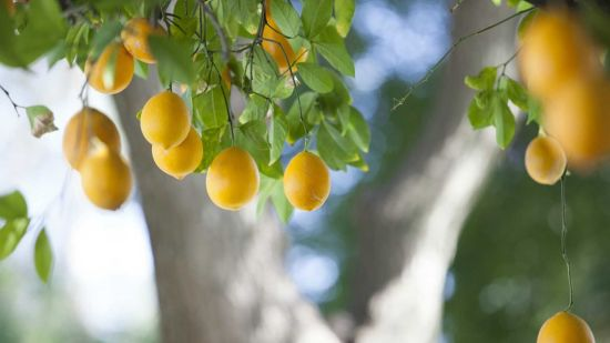 Do You Know Who Discovered Meyer Lemons?