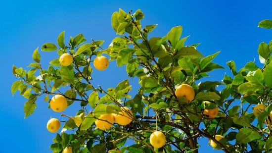 Summer Lemon Treats