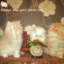Criadero de Gatos Persa e Himalaya en Bogotá en Bogotá