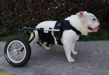 Sillas de ruedas para perros por solo $374.000