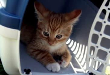 Lleva un transportador grande para gatos por solo $50.000