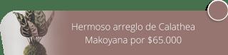 Hermoso arreglo de Calathea Makoyana por $65.000 - Marga Plantas