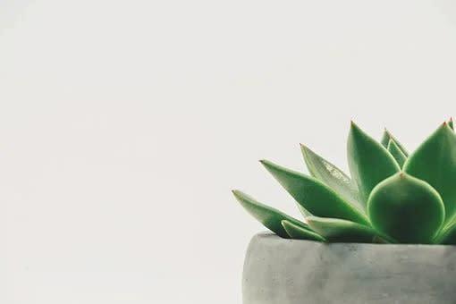 Begonia piel de sapo