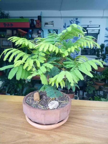 Bonsai Acacia de cuatro años de edad