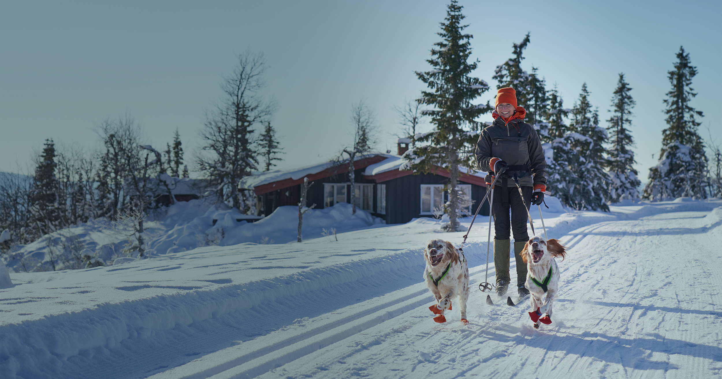 woman cross country skiing with her two dogs