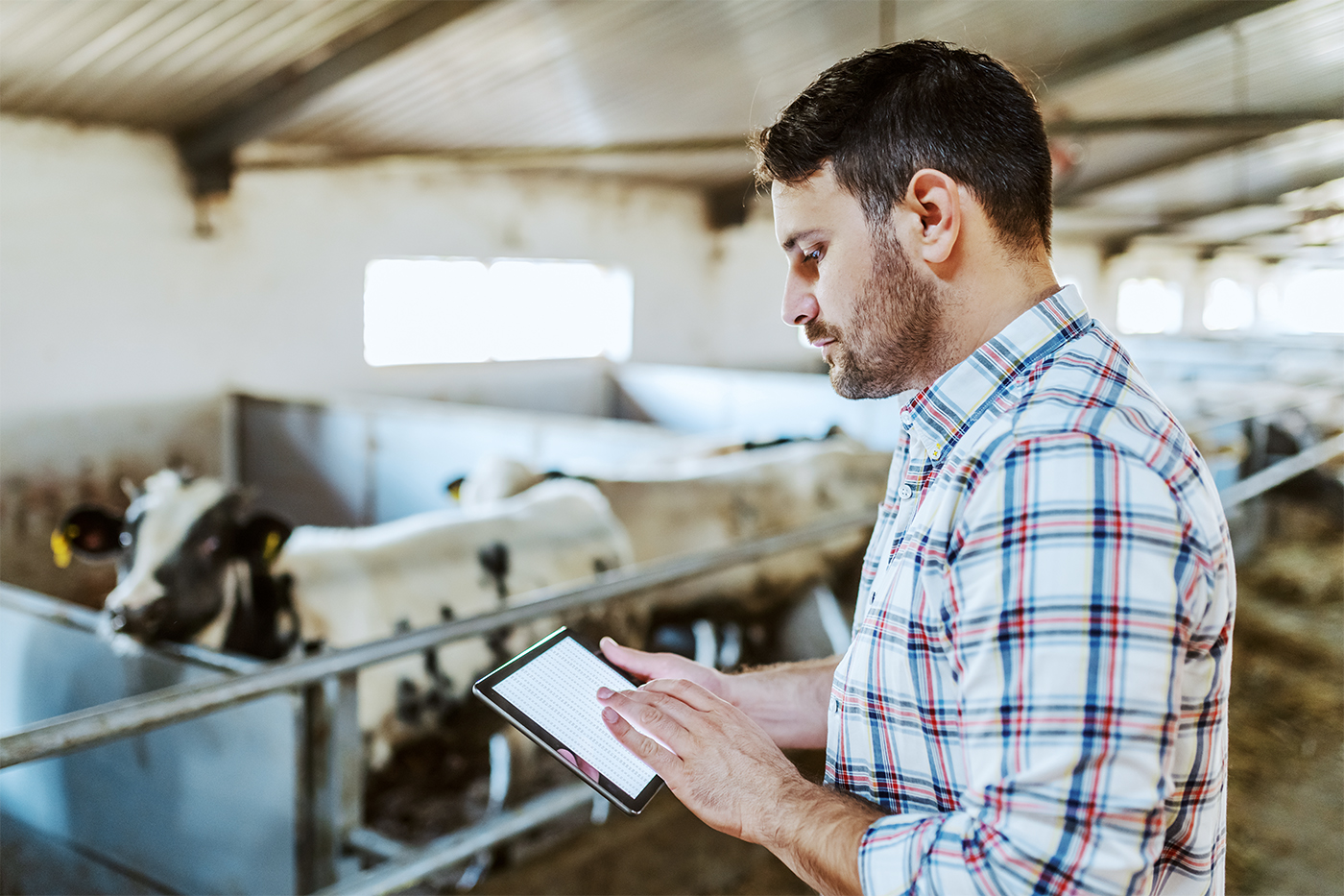 Cattle rancher in barn using tablet