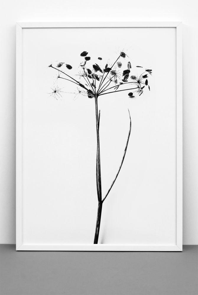 Hogweed Print,One Must Dash,Prints & Artwork,black-and-white,botany,branch,flower,leaf,plant,tree,twig,white