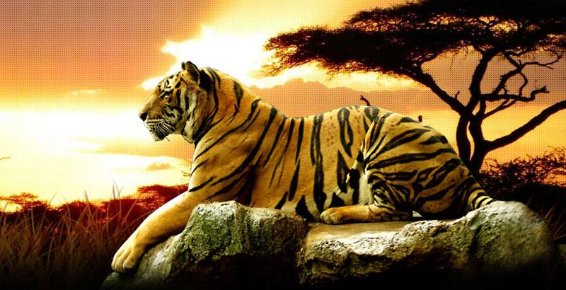 Taj with Tiger Trail