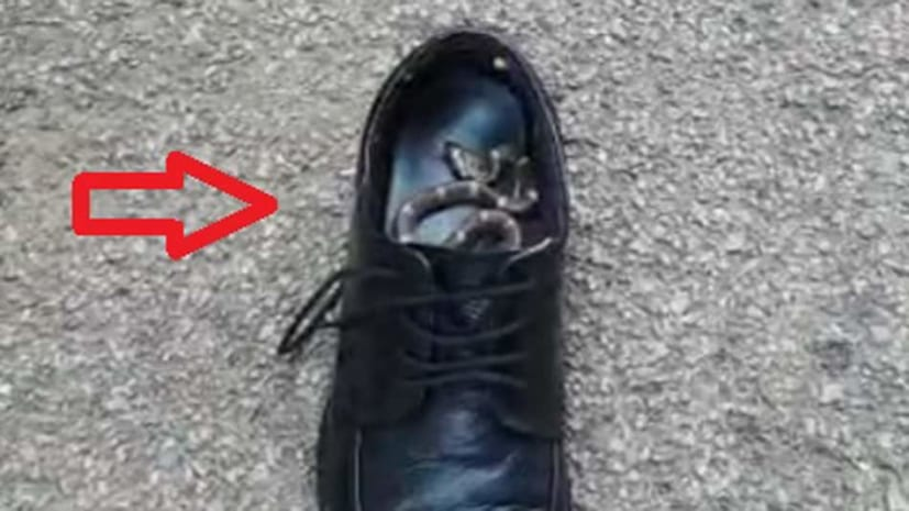 बाल बाल बचे एसपी साहब, जूते में छिपा था जहरीला सांप, मोजे निकालते समय किया हमला