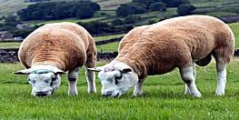 3.59 करोड़ रुपए में बिकी भेड़, वजह जानकार चौंक जाएंगे आप