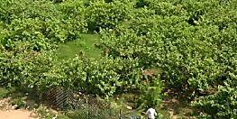 इस बिहारी ने मल्टीनेशनल कंपनी की नौकरी छोड़, शुरू की अमरूद की खेती
