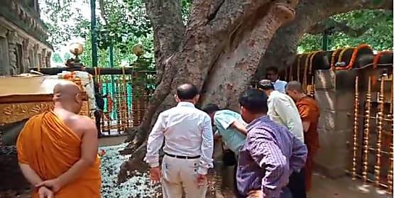 महाबोधि मंदिर परिसर स्थित बोधिवृक्ष के स्वास्थ्य की हुई जांच, जानिए जांच टीम ने क्या कहा