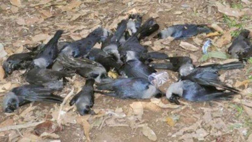 बिहार में 40 कौओं की मौत के बाद सरकार सतर्क,भोपाल भेजा गया सैम्पल