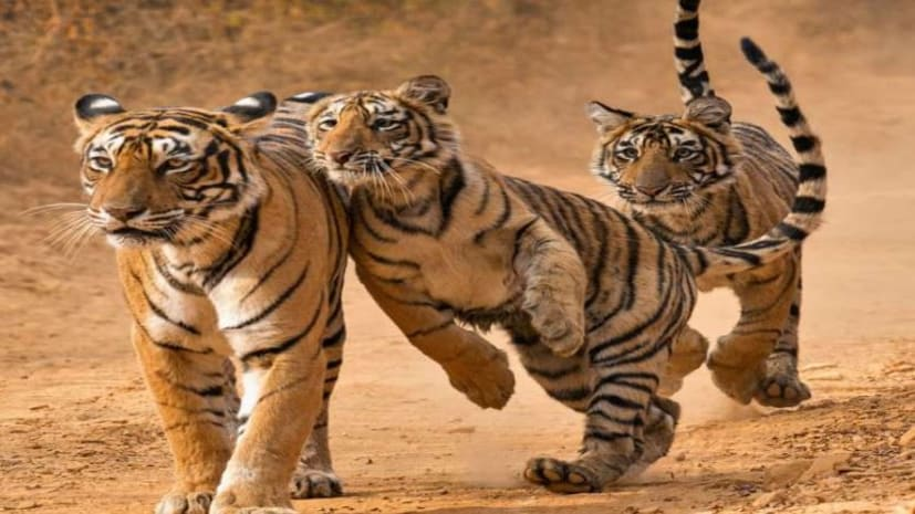 बिहार में अब बाघों के बहार, दस साल में संख्या 40 के पार