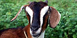 सड़क दुर्घटना में गयी बकरी की जान, कंपनी को उठाना पड़ा करोड़ों का नुकसान