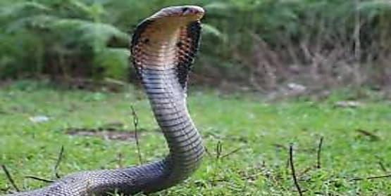बेडरूम में सो रहे पति- पत्नी के सामने निकले एक के बाद एक 45 कोबरा सांप, उसके बाद...