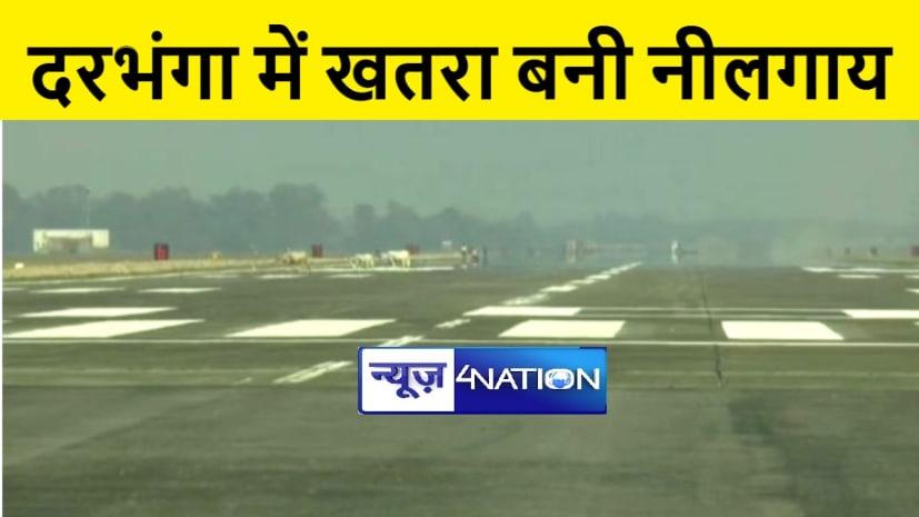 """दरभंगा हवाई अड्डे पर खतरा बनी """"नीलगाय"""", प्रशासन ने सरकार को भेजा 56 लाख रूपये का प्रस्ताव"""