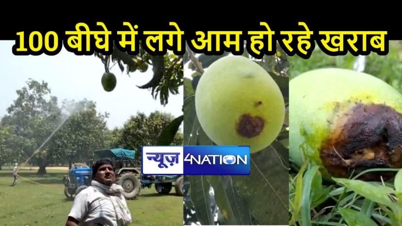 BIHAR NEWS: 'आम' के बीमार होने से 'खास' परेशान, सरकार और कृषि वैज्ञानिक से उचित इलाज की आस