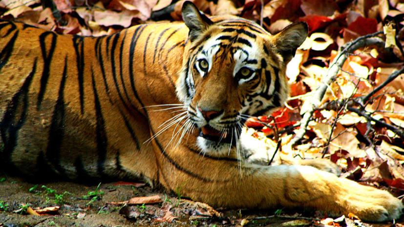 रिहाइशी इलाके में बाघ के आने से ग्रामीणों की नींद हराम, वनकर्मियों के छूटे पसीने