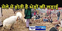 मेले में भेड़ की लड़ाई देखने के लिए उमड़ी भीड़, जिले में संक्रांति पर  50 साल से चली आ रही है अनोखी परंपरा