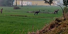 23 जनवरी से मुजफ्फरपुर में होगा जंगली जानवरों का कत्लेआम, राज्य सरकार ने दी मंजूरी