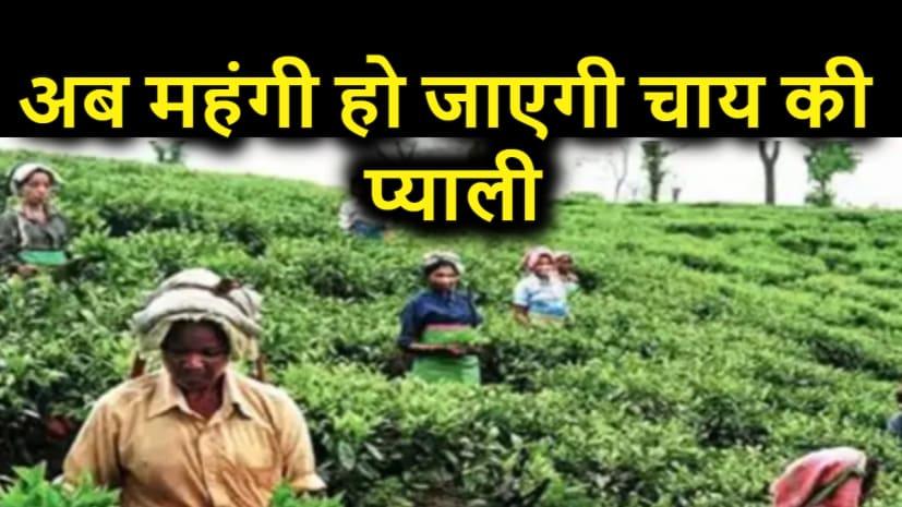 अब महंगी हो जाएगी चाय की प्याली, लॉकडाउन और बाढ़ की वजह से चाय उत्पादन पर बुरा असर