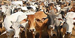 अयोध्या नगर निगम की अनोखी पहल, ठण्ड से बचाने के लिए गायों को पहनाया जायेगा कोट