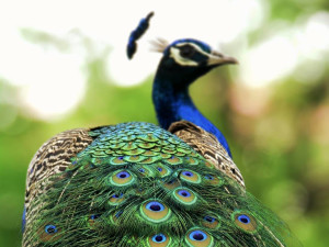 Live Peacock Dance