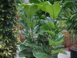 Rebirth of my Ficus Lyrata plant