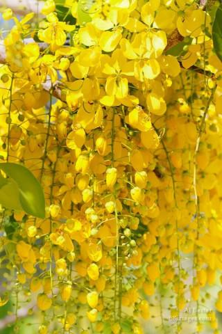 The Golden Shower