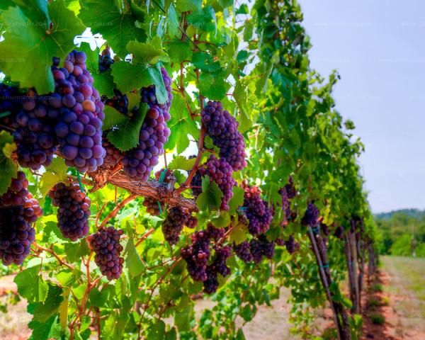 Vineyards of Nandi Hills