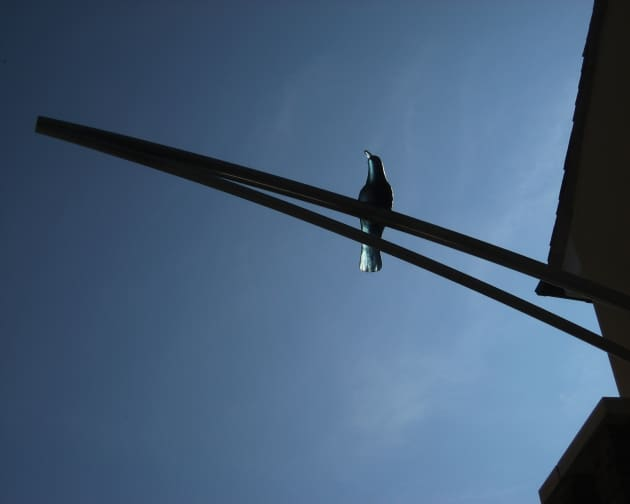 Crows of Bicester