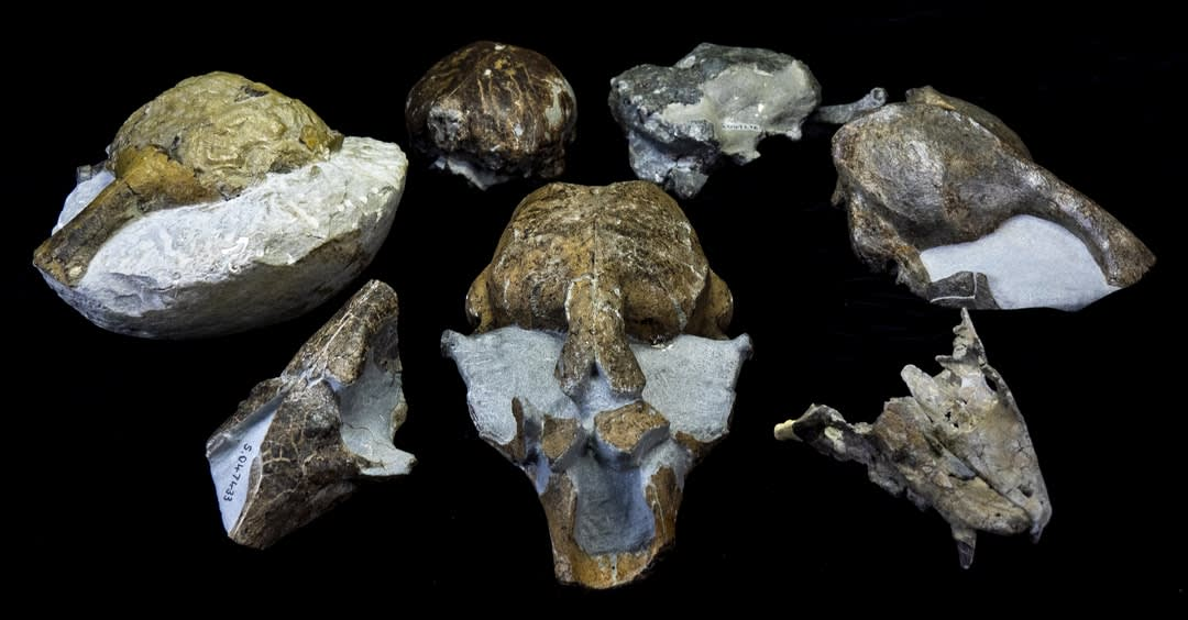 Fossilised skulls from the newly discovered southern monk seal