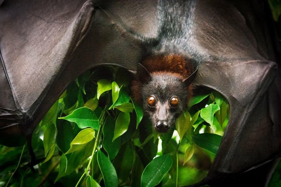 A bat hanging among bushes.