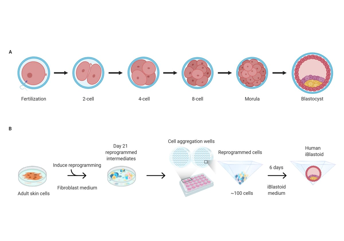 Graphic explaining human blastocyst and iBlastoid development