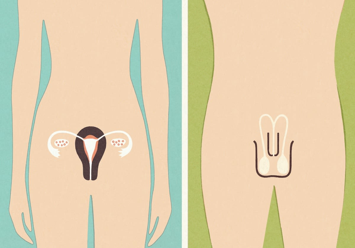 Stylised illustration of male and female torsos depicting the respective gender reproductive organs