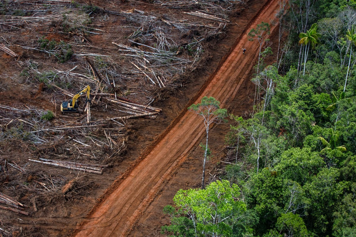 Forest clearance in the Tanah Merah project