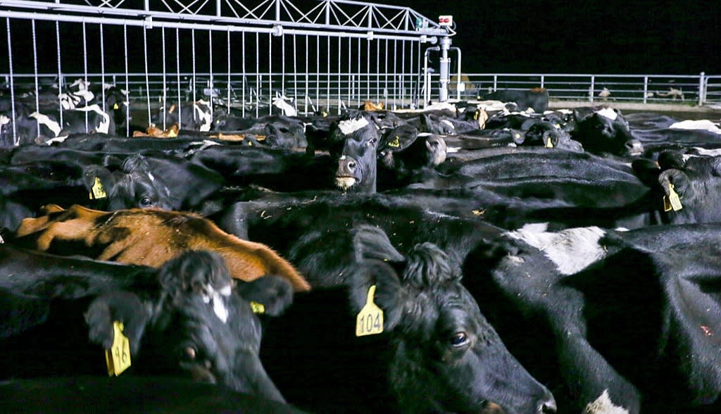 Cows at the Synlait dairy farm in Christchurch stand in the darkness of night ready to be milked. Photo: Martin Hunter / Getty Images