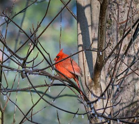 Wildlife Photography, Cardinal