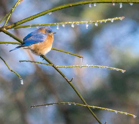Wildlife Photography, Eastern Bluebird