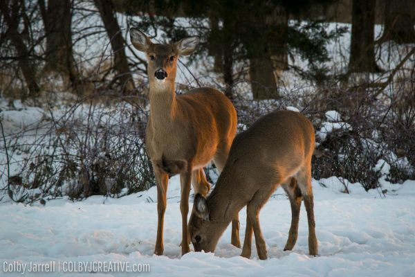 Wildlife Photography, Deer in Michigan
