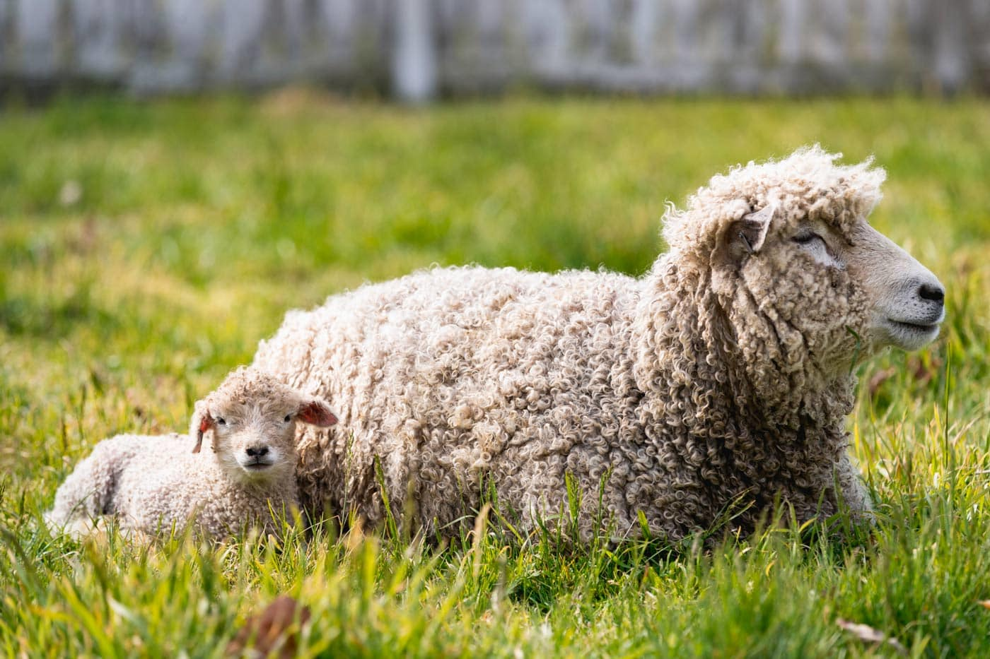 Help Feed a Leicester Longwool Lamb for a Month