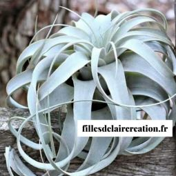 Air Plant Xerographica - Air Plant Xerographica