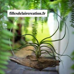 Tillandsia en suspension - chêne liège - Création originale composée d'écorce de chêne liège et de Tillandsia