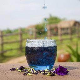 Fleurs de Pois Papillon - L'infusion de Fleurs de Pois Papillon développe un goût sucré aux fines notes de sésame. Elle est surtout remarquable et originale par sa couleur bleu vif. Le pois papillon est une plante dont les fleurs infusées offrent une coloration naturelle bleue ou rose (avec quelques gouttes de citron). Appréciée pour son goût délicat et ses bienfaits, elle est aussi idéale en cuisine et dans la préparation de cocktails.  Enchantement garanti !  Nos fleurs de Pois Papillon sont récoltées à la main et sélectionnées  dans les plus brefs délais avant d'être déshydratées à basse température. Ce procédé de fabrication permet de conserver tous les arômes, vous garantissant ainsi un produit de grande qualité !