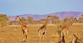 seguro viagem áfrica - girafas na savana