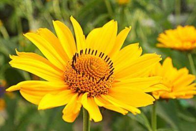 Arnica-planta-medicinal
