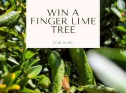 Win a Finger Lime Tree