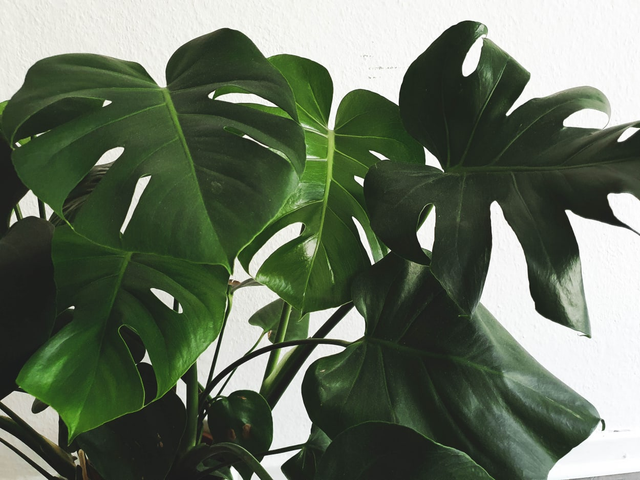 Zimmerpflanzen Die 5 Besten Und Pflegeleichten Pflanzen Fur Ihr Zuhause Ad